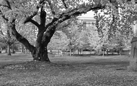 Diplomacy Blossoms: The Secret History of DC's Favorite Tree