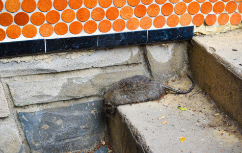 Ratastrophe D.C.: City rodent complaints reach record high